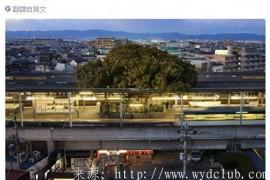 700岁老树砍不动 日本火车站绕树而建