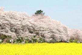 日本赏花攻略--东京一年四季赏花不可错过的好去处