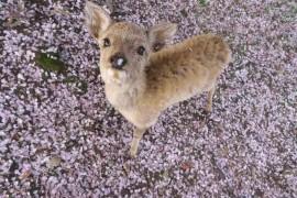 日本樱花季第三弹|关西赏樱地点全攻略:樱·鹿·你