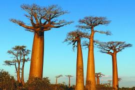 猴面包树,马达加斯加国宝