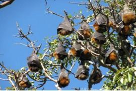 一波未平一波又起 数十万吸血蝙蝠袭击澳洲 数千万人陷入恐慌