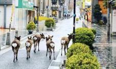 日本奈良市内出现鹿比人多的景象