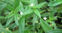 白花蛇舌草,名字很奇怪,却有多种抗癌成分,你听说过吗?