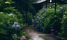 来日本京都宇治赏紫阳花,还能吃到宇治特色美食