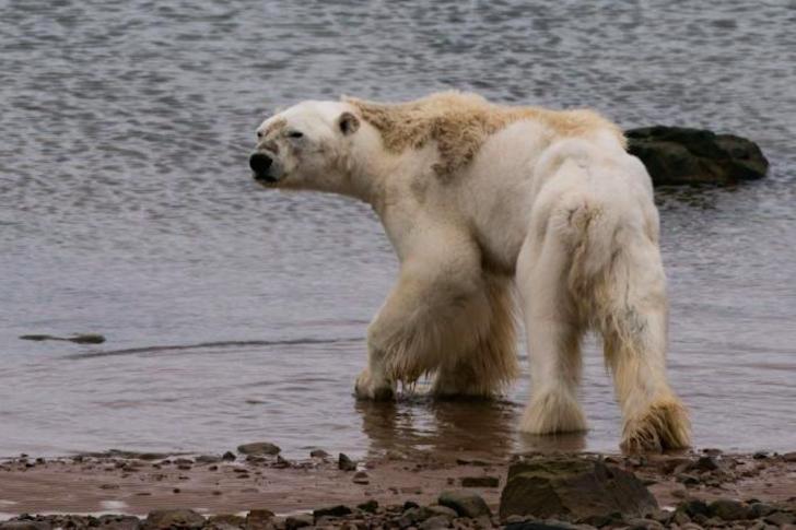 令世人心碎的瀕死北極熊下場是什麼? 攝影師悔未完整呈現  热门资讯 第1张
