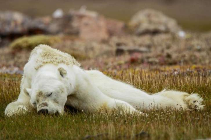 令世人心碎的瀕死北極熊下場是什麼? 攝影師悔未完整呈現  热门资讯 第2张