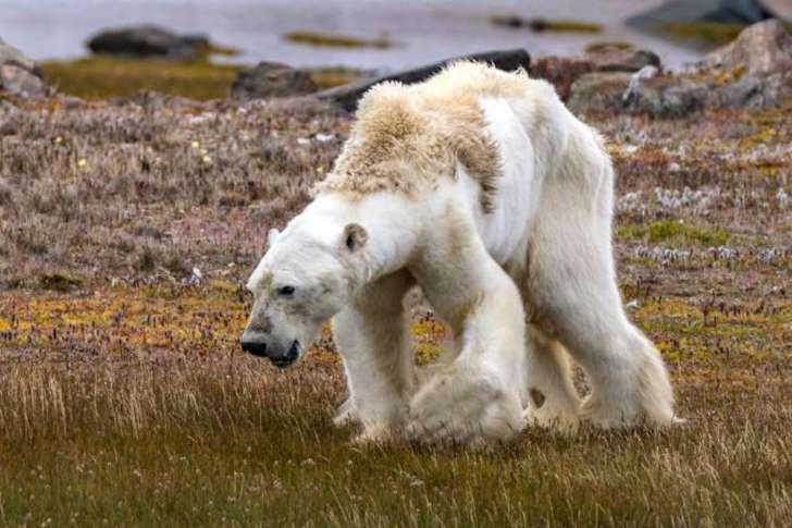 令世人心碎的瀕死北極熊下場是什麼? 攝影師悔未完整呈現  热门资讯 第3张