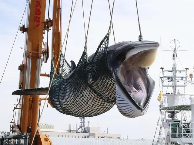 日本商业捕鲸船捕获1430吨鲸肉回港,下月上市开售 日本商业捕鲸船捕获1430吨鲸肉回港,下月上市开售 网文选读