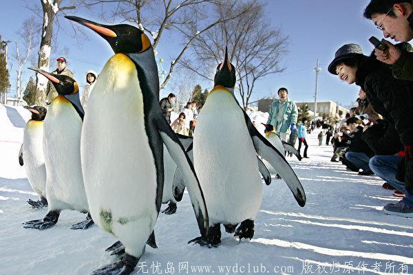 GettyImages-52091396-600x400.jpg 国王企鹅住在日本家庭里 会自己到市场买鱼 大千世界