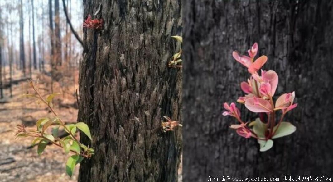 澳洲火灾后森林长出了嫩芽!全澳一张照片刷屏了 网文选读 第1张
