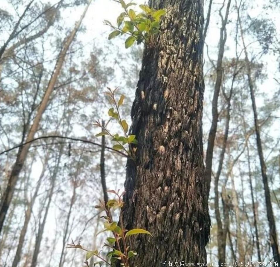 澳洲火灾后森林长出了嫩芽!全澳一张照片刷屏了 网文选读 第6张