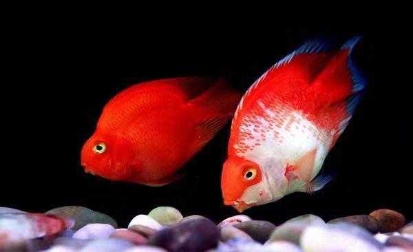 鱼缸里发现鱼卵,未必是件高兴的事,不是每次都可迎接小鱼到来 家庭生活 第4张