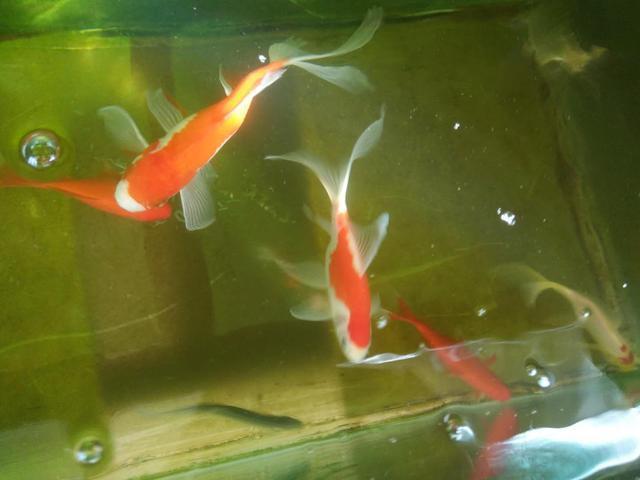 鱼缸里发现鱼卵,未必是件高兴的事,不是每次都可迎接小鱼到来 家庭生活 第3张