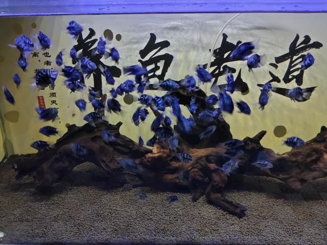 鱼缸里发现鱼卵,未必是件高兴的事,不是每次都可迎接小鱼到来 家庭生活 第1张