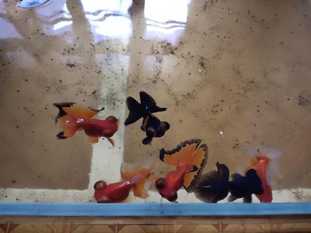 鱼缸里发现鱼卵,未必是件高兴的事,不是每次都可迎接小鱼到来 家庭生活 第6张
