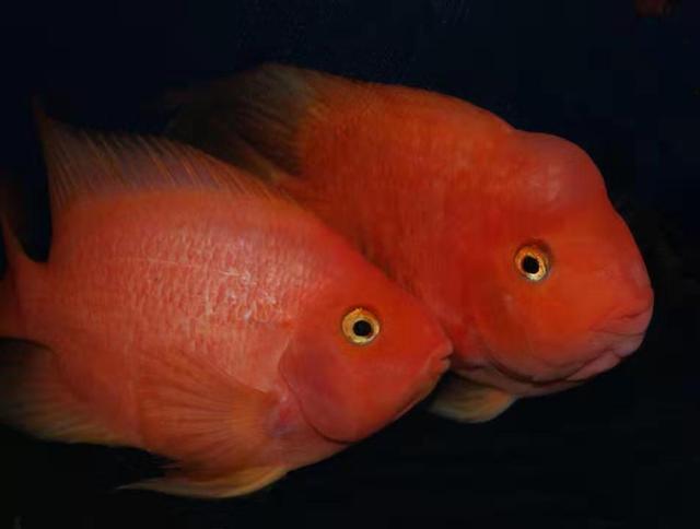 鱼缸里发现鱼卵,未必是件高兴的事,不是每次都可迎接小鱼到来 家庭生活 第7张