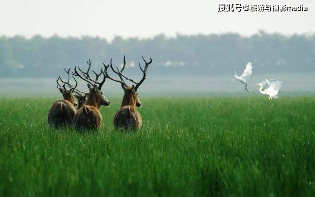 世界最大的野生麋鹿种群,总面积 78000公顷,国内外游客近100万人次 旅游资讯 第3张
