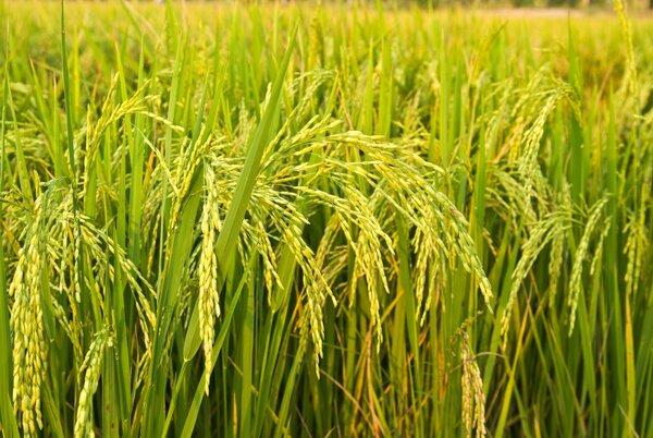 """你天天吃的大米饭可能含致癌物""""砷"""",研究称,这样煮饭可去除 饮食文化 第2张"""