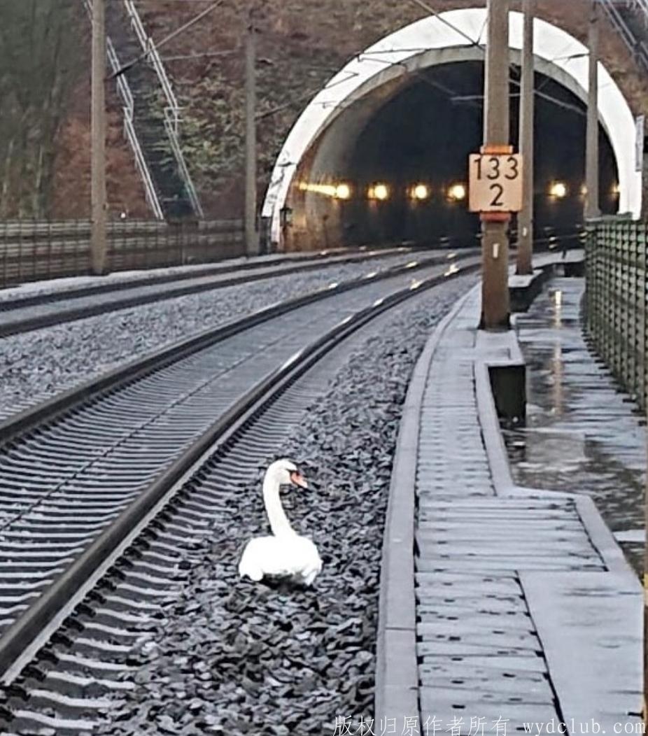 天鹅哀悼同伴死亡 导致德国23列火车误点 大千世界 第2张