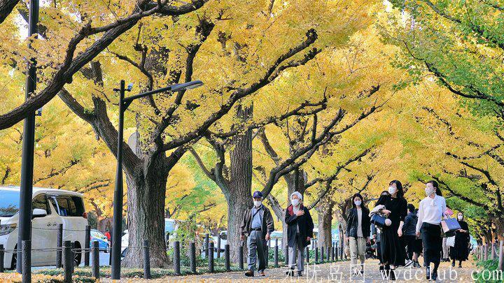 黄色秋光 | 东京3个银杏景点实测(光之丘、国营昭和纪念公园、神宫外苑) 旅游资讯 第3张