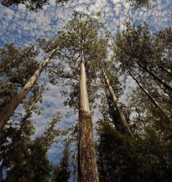"""地球上超高的5棵树,高度堪比摩天大楼,中国这棵被称""""望天树"""" 大千世界 第4张"""